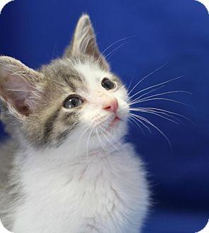 Domestic Shorthair Cat for adoption in Winston-Salem, North Carolina - Moses