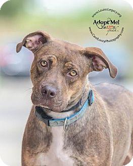 Pit Bull Terrier/Boxer Mix Dog for adoption in Cincinnati, Ohio - Autumn
