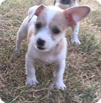 Jack Russell Terrier Mix Puppy for adoption in Dallas/Ft. Worth, Texas - Clementine In Dallas/Ft Worth