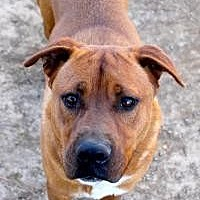 Shepherd (Unknown Type) Dog for adoption in Memphis, Tennessee - Droopy