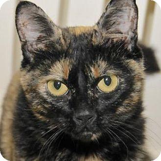 Domestic Shorthair Cat for adoption in Eastsound, Washington - Olivia