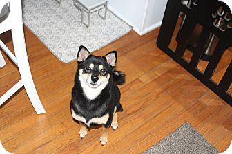 Shiba Inu Dog for adoption in Manassas, Virginia - Aiko
