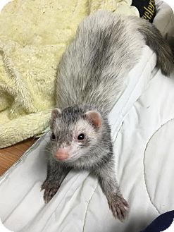 Ferret for adoption in Fawn Grove, Pennsylvania - Sebastian