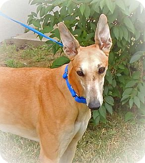 Greyhound Dog for adoption in Florence, Kentucky - CeCe