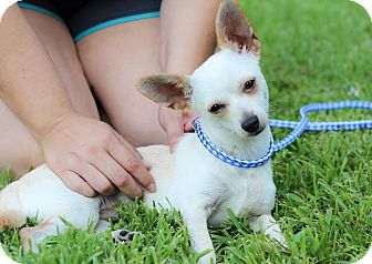 Chihuahua Mix Dog for adoption in Conroe, Texas - Hodges