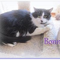 Domestic Mediumhair Cat for adoption in Culpeper, Virginia - Bonnie