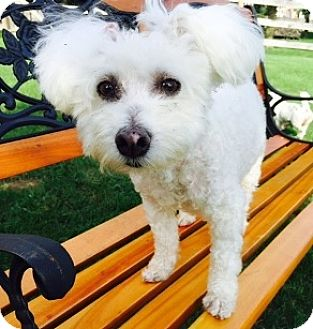 Bichon Frise Dog for adoption in Beavercreek, Ohio - Samson