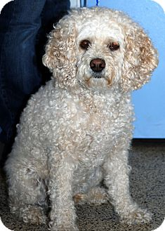 Spaniel (Unknown Type)/Poodle (Miniature) Mix Dog for adoption in Hayden, Idaho - Teddy