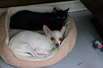 Domestic Shorthair Cat for adoption in Casa Grande, Arizona - Momma