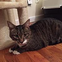 Domestic Shorthair Cat for adoption in New York, New York - Mr. Maya