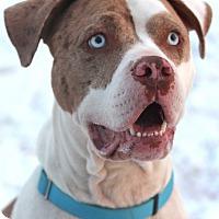 American Bulldog Mix Dog for adoption in Lafayette, Indiana - Brad Pit