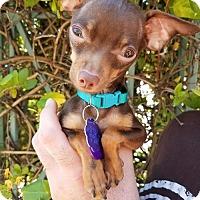 Adopt A Pet :: *Weedle Pokemon - Pittsburg, CA