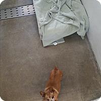 Adopt A Pet :: Chasta - Chippewa Falls, WI