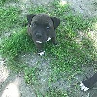 Adopt A Pet :: Maggie (adoption pending) - Belleville, MI