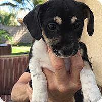 Adopt A Pet :: Jax - Brea, CA