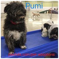 Adopt A Pet :: Pumi - Agoura Hills, CA