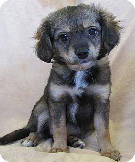 Shih Tzu/Terrier (Unknown Type, Small) Mix Puppy for adoption in Anna, Illinois - JEMMIE