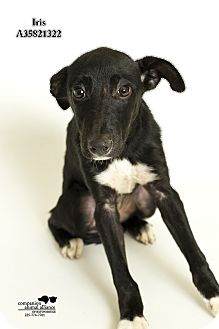 Labrador Retriever/Collie Mix Dog for adoption in Baton Rouge, Louisiana - Iris