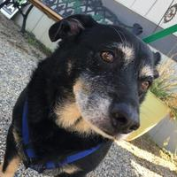 Adopt A Pet :: Hershey - Visalia, CA