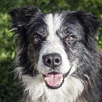 Adopt A Pet :: Ace - 28681 - Petaluma, CA