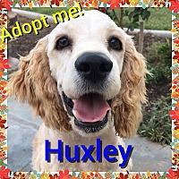 Adopt A Pet :: Huxley - Santa Barbara, CA