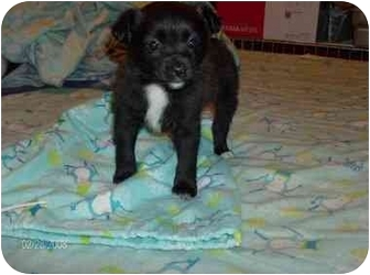 Pomeranian/Chihuahua Mix Puppy for adoption in Coal City, West Virginia - Walker