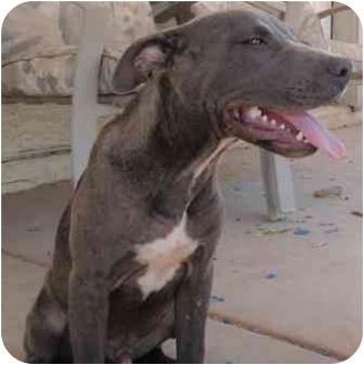 American Staffordshire Terrier/Pit Bull Terrier Mix Puppy for adoption in Gilbert, Arizona - Azul
