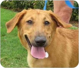 Labrador Retriever/Basset Hound Mix Dog for adoption in Sugar Land, Texas - Gunner