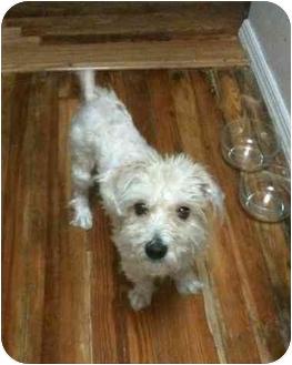 Maltese Mix Dog for adoption in Brooklyn, New York - Bruno