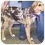 Photo 2 - Catahoula Leopard Dog/Hound (Unknown Type) Mix Puppy for adoption in Buffalo, New York - Trevor: Blue Eye & Blue Merle
