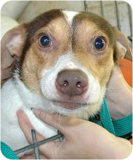 Jack Russell Terrier Mix Dog for adoption in Ripley, Tennessee - Jackson