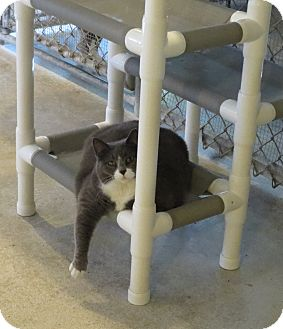 Domestic Shorthair Cat for adoption in Geneseo, Illinois - Scamper