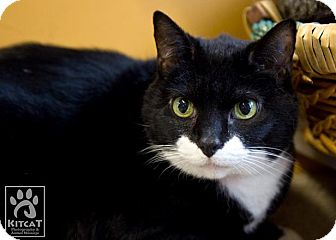 Domestic Shorthair Cat for adoption in Lancaster, Massachusetts - Stacie
