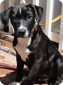 Labrador Retriever Mix Puppy for adoption in Santa Ana, California - Barta 7