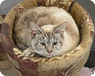 Siamese Cat for adoption in Rohrersville, Maryland - Lizzy Main