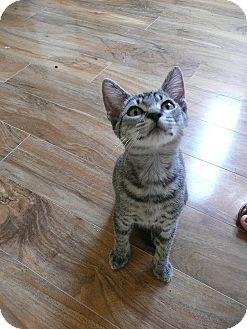 American Shorthair Kitten for adoption in Tampa, Florida - Tyler