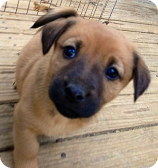 Shepherd (Unknown Type)/Labrador Retriever Mix Puppy for adoption in Olive Branch, Mississippi - Piddles-Walnut, MS Pup
