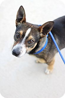 Jack Russell Terrier/Corgi Mix Dog for adoption in Chino Valley, Arizona - Freddy