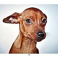 Adopt A Pet :: Ava - New York, NY