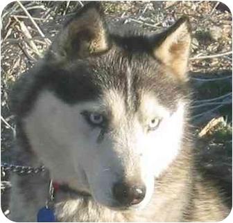 Siberian Husky Dog for adoption in Southern California, California - Pancho