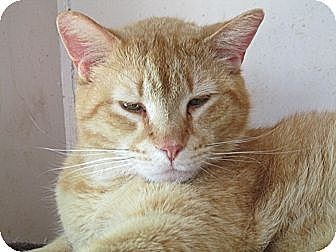 Domestic Shorthair Cat for adoption in Plattekill, New York - Felix