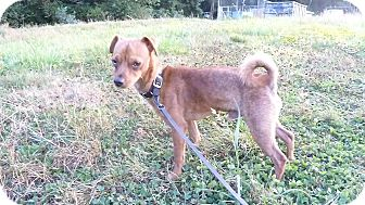 Chihuahua/Miniature Pinscher Mix Dog for adoption in Tillamook, Oregon - Doc