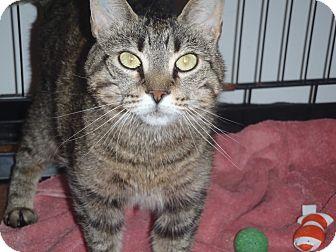 Domestic Shorthair Cat for adoption in Acushnet, Massachusetts - Azerial