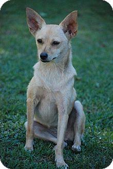 Chihuahua Mix Dog for adoption in Grand Bay, Alabama - Baby