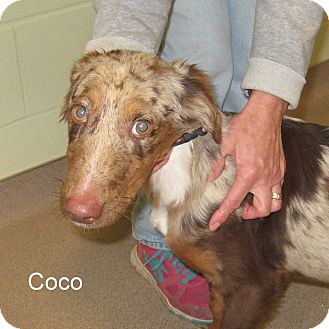 Catahoula Leopard Dog Mix Puppy for adoption in Slidell, Louisiana - Coco