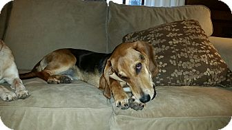 Beagle/Basset Hound Mix Dog for adoption in Vancouver, British Columbia - Fancy