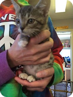 Domestic Shorthair Kitten for adoption in St. Francisville, Louisiana - Atticus