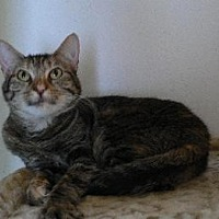 Domestic Mediumhair Cat for adoption in Alvin, Texas - Tessie