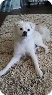 Spitz (Unknown Type, Small) Mix Dog for adoption in Litchfield Park, Arizona - Nanuk