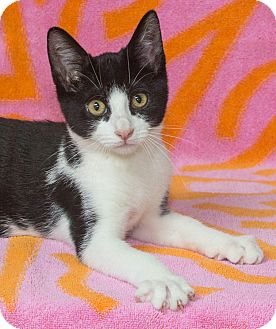 Domestic Shorthair Kitten for adoption in Elmwood Park, New Jersey - Joe